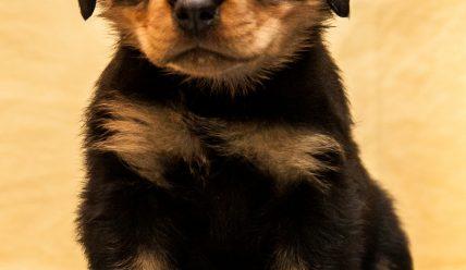 Ротвейлер, щенки! (проданы)