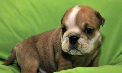 купить щенка английского бульдога